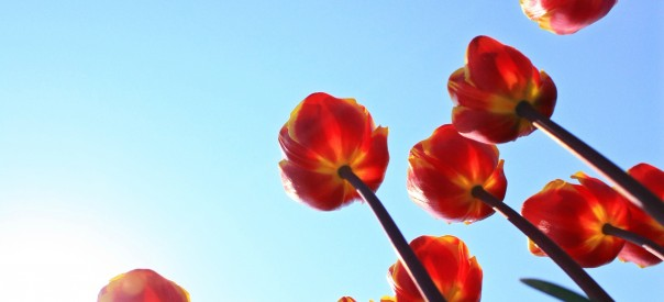 Tulipes_freeimagesCom